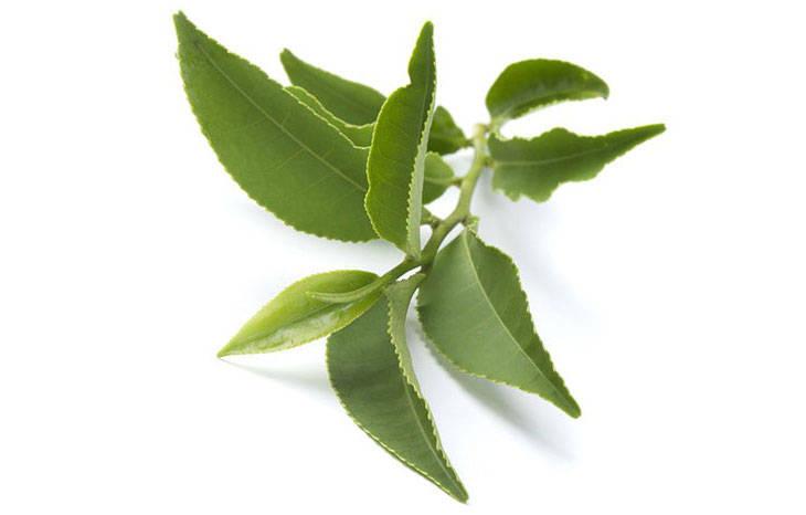 экстракт зеленого чая для похудения