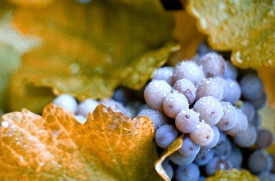 Экстракт виноградной косточки в косметике